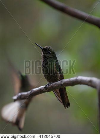 Two Green Buff-tailed Coronet Boissonneaua Flavescens Hummingbirds Colibri Animal Birds Sitting On T