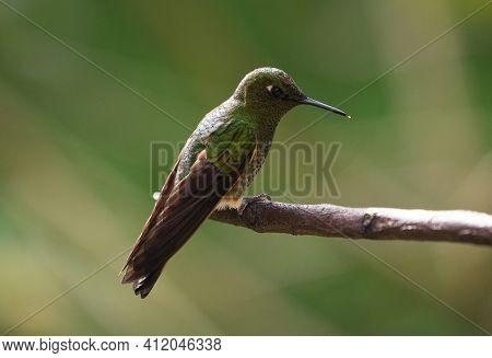 Isolated Green Buff-tailed Coronet Boissonneaua Flavescens Hummingbird Colibri Animal Bird Sitting O
