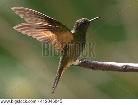 Isolated Green Buff-tailed Coronet Boissonneaua Flavescens Hummingbird Colibri Bird With Spread Wing
