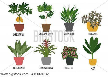 Houseplants. Tropical Plants In Pots. Exotic Flowers. Papaya, Artocarpus Altilis, Spathillum, Trades