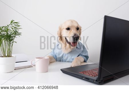 A Cute Dog Looks At A Laptop, Working In Glasses And A Shirt. Golden Retriever Office Worker.