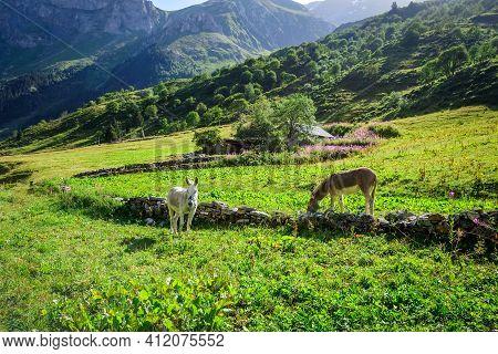 Donkeys In A Field, Pralognan La Vanoise, French Alps