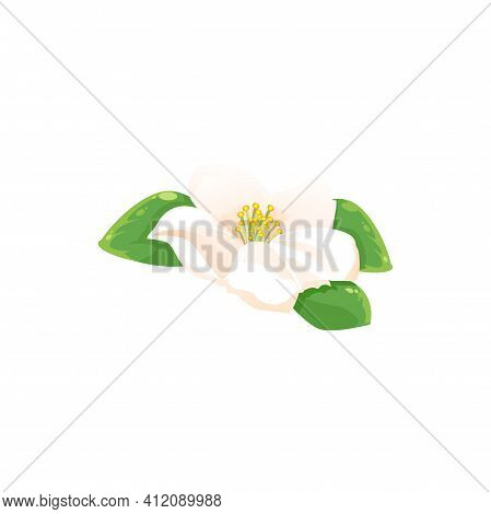 Jasmine Flower Isolated Herbal Tea Drink Ingredient Icon. Vector Fragrant Aromatic Jessamine In Blos