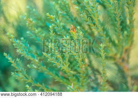 Green Leaves Of Giant Sequoia. Close-up Of Beautiful Green Leaves Of Giant Sequoiadendron. Sequoiade