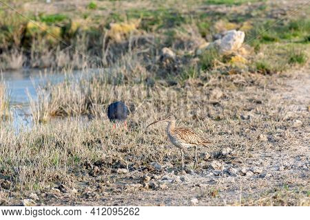Eurasian Curlew Numenius Arquata Wading Wetland In Search Of Food In Natural Park Of Mallorca Spain