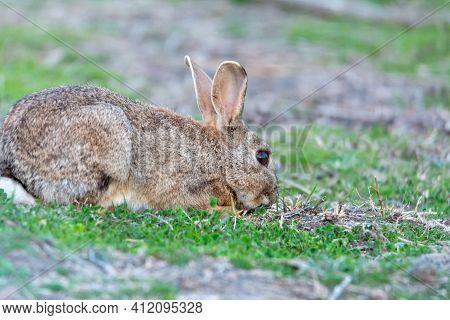 European Rabbit (oryctolagus Cuniculus), Lying On Shore Of Wetland, Natural Park Of Mallorca Spain