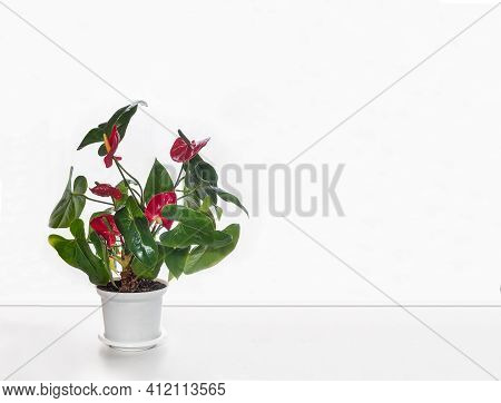 On The Table Is A Beautiful Indoor Anthurium Flower With Bright Red Flowers. Front View On The Backg