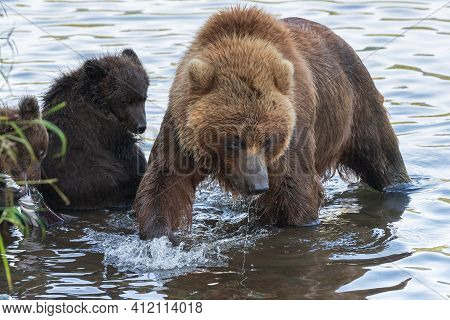 Huge Mother Kamchatka Brown Bear With Two Bear Cubs Fishing Red Salmon Fish During Spawning In River