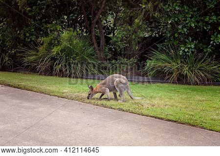 An Australian Wallaby Eating Grass Beside A Private Road In A Country Estate