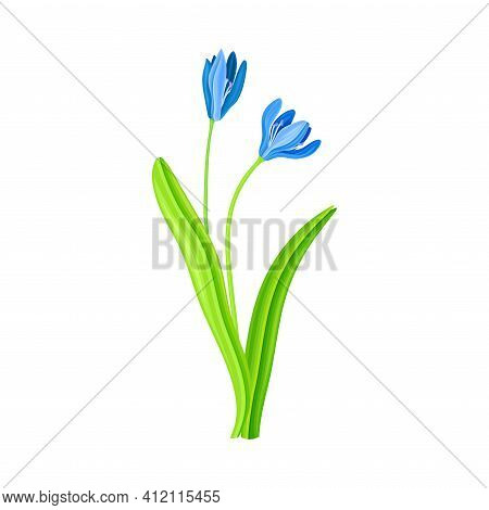 Snowdrop Or Galanthus With Blue Pendulous Flower And Linear Leaves Vector Illustration
