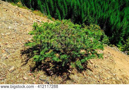 Lone Jack Pine - A Ground-level Jack Pine Tree On A Ridge Along Straight Creek Road - Cascade Range