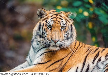 Siberian Tiger (panthera Tigris Tigris), Amur Tiger (panthera Tigris Altaica) In The Forest