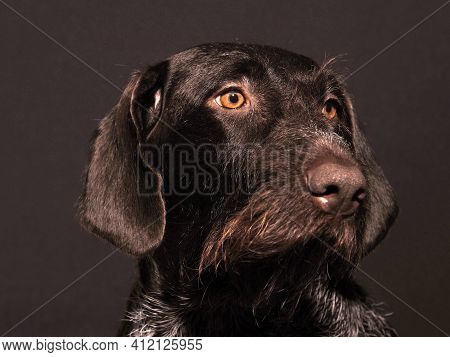 Portrait Of A German Hunting Dog, Brown Hard-haired. High Quality Photo