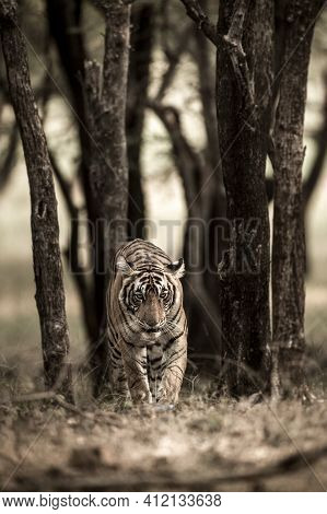 Fine Art Image Of Indian Wild Royal Bengal Tiger On Stroll Walking Head On Portrait With Eye Contact