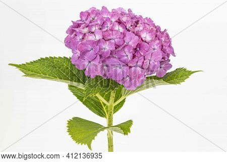Light Purple Hydrangea With Leaves And Stalks Isolated On A White Background