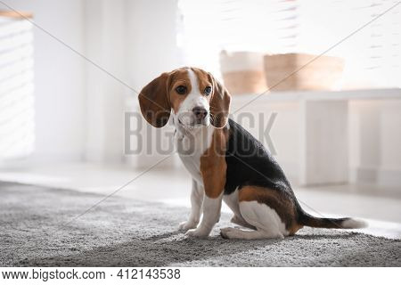 Cute Beagle Puppy At Home. Adorable Pet