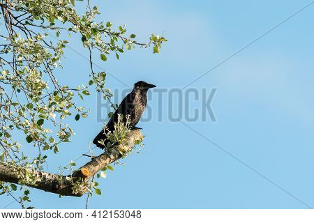 A Carrion Crow (corvus Corone) Sitting On A Tree On A Sunny Day In Summer (vienna, Austria)
