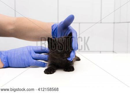 Checkup And Treatment Of Black Little Kitten At A Veterinarian Appointment At Veterinary Clinic. Clo