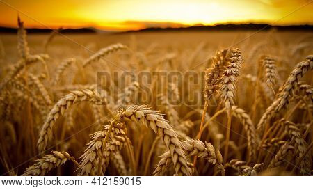 Golden Wheat Field At Sunset Beautiful Sunset Beans Of Wheat Agriculture Farm Plants Yellow Field La
