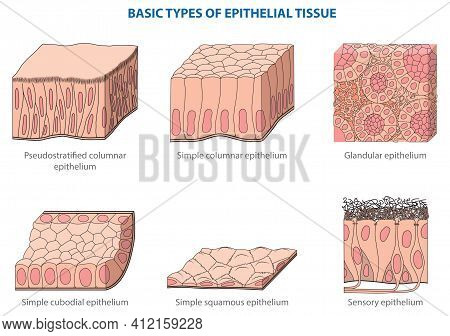 Types Of Animal Tissues By Structure - Epithelial (integumentary) Tissue.