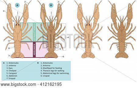 Vector Illustration Of External Anatomy Of Lobster.