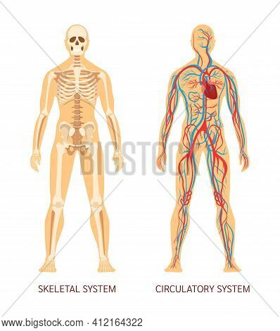 Human Body System. Human Body Skeleton And System Of Blood Vessels With Arteries, Veins. Cartoon Vec