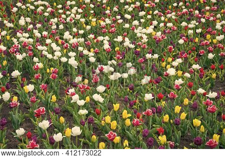 Plants Need Good Care. Harmony In Meditation. Nature Is Humans Anti-stress. Beautiful Colored Tulip