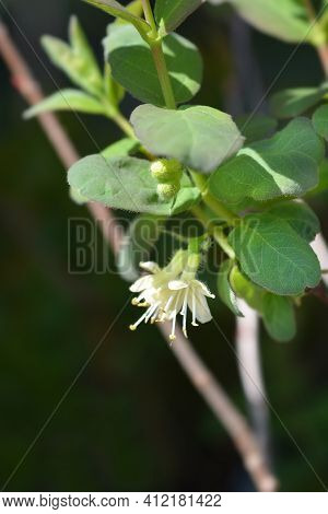 Honeyberry Borealis Pale Yellow Flowers - Latin Name - Lonicera Caerulea Borealis