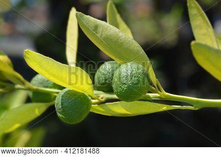 Mandarin Orange Unripe Fruit - Latin Name - Citrus Reticulata
