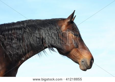 Brown horse with black mane portrait on sky background poster