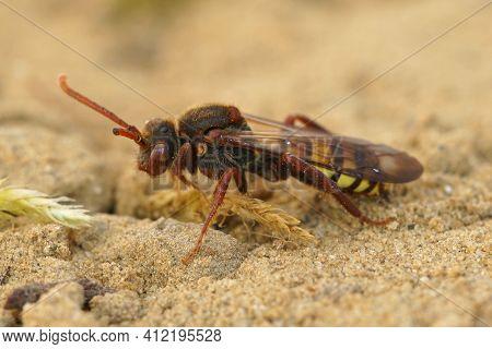 Closeup Of A Female Broad-banded Nomad Cuckoo Bee, Nomada Signata On Sandy Soil