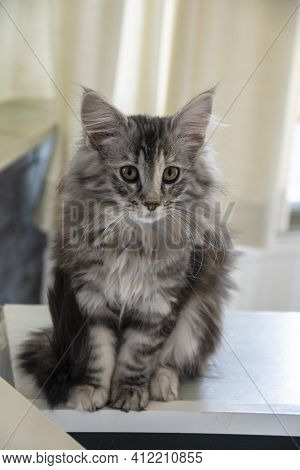 Funny Curious Young Red Ginger Maine Coon Kitten Cat Sitting At Home Sofa. Coon Cat, Maine Cat, Main