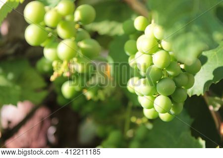 Bunch Of Green Unripe Grapes On The Vine In The Summer Garden. Natural Blurred Background