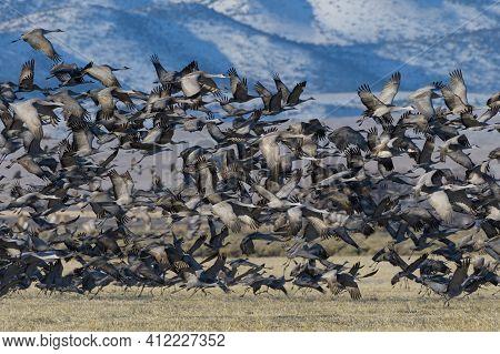 Sandhill Cranes During The Spring Migration In Monte Vista, Colorado. Sandhill Crane Blastoff