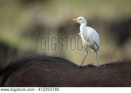 Cattle Egret On Cape Buffalo Facing Left