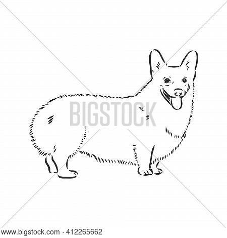Vector Portrait Of Welsh Corgi Pembroke. Hand Drawn Domestic Dog Illustration. Vector Illustration F