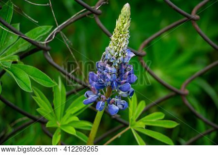 Lupine, Lupinus, Beautiful Blue Spring Flowers In The Meadow, Floral Background Of Delicate Light Bl
