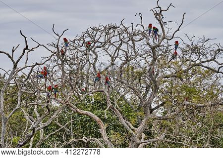Beautiful Scarlet Macaw, Ara Macao, A Large Red, Yellow, And Blue Parrot In Central And South Americ