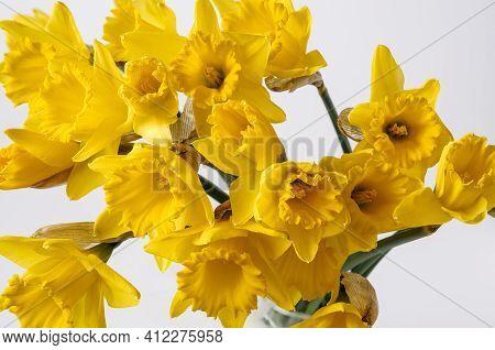 Narcissus Trumpet Daffodil