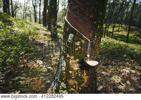 Collecting Natural Latex From Rubber Tree In Plantation Forest. Agriculture In Sri Lanka.
