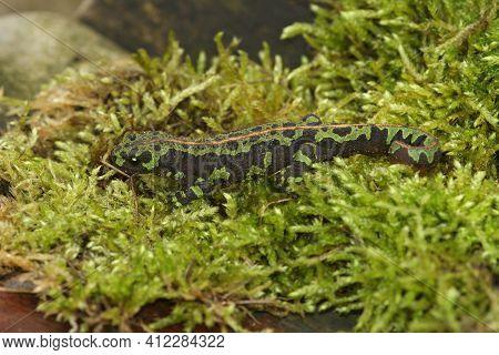Full Body Closeup Of A Terrestrial Juvenile Marbled Newt, Triturus Marmoratus On Green Moss