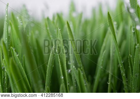 Lush Juicy Green Grass In The Meadow With Water Dew Drops. Macro Close-up. A Beautiful Artistic Imag
