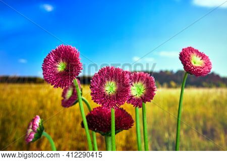 Detail Of A Blooming African Daisy In A Meadow In Poland