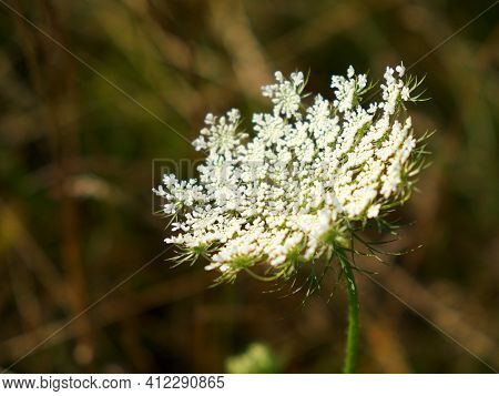 Hemlock. Herbaceous Strong-smelling Poisonous Plant. Inflorescence Of White Flowers On A Blurred Bac