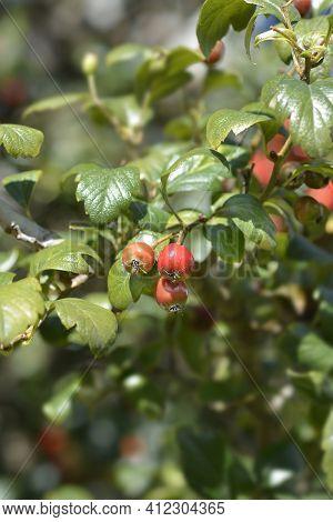 Downy Hawthorn Fruit - Latin Name - Crataegus Mollis