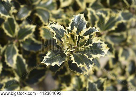 Variegated English Holly - Latin Name - Ilex Aquifolium Variegata