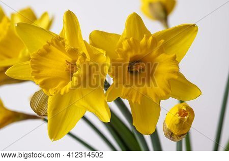 Yellow Narcissus Trumpet, Daffodil,narcissus Pseudonarcissus,macro,on A Light Background,bell-shaped