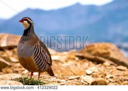 Red-legged Partridge In The Mountains Standing On The Background Of Rocks, Stones And Sky And Lookin