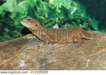 Closeup Of Xenagama Taylori Or The Dwarf Shield-tailed, Taylor's Strange Or Turnip-tailed Agama