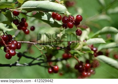 A Bush With Lots Of Red Berries On Branches, Autumnal Background Close-up Colorful